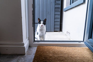 Black and white domestic cat sitting on the doorstep in front of the kitchendoor, waiting and asking to be let in