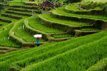 Peasant carrying sack of rice on a rice field terrace farm in Bali, Indonesia