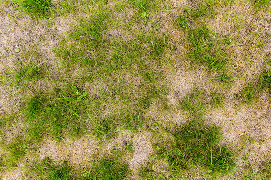 Background of a patchy lawn with weeds