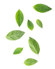 Poster Aromatische Small and big leaves of mint herbal