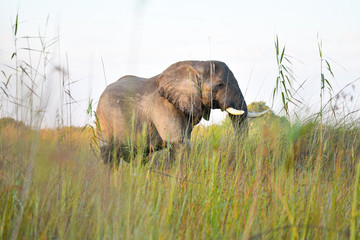 Elephant in Chobe National Park Botswana
