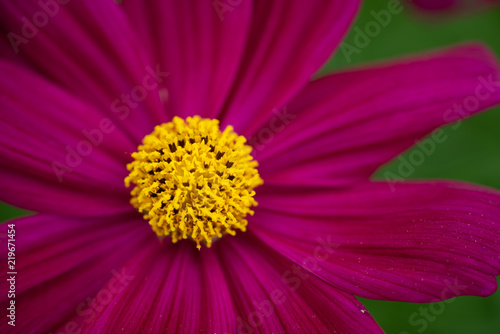 Cosmos Flower Annual Flowers With Colourful Daisy Like Flowers