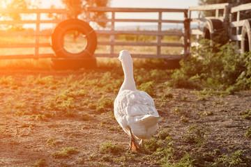 White Goose enjoying for walking in garden. Domestic goose. Goose farm. Home goose. Sun flare