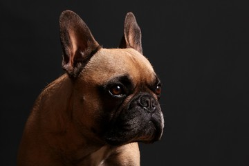 beautiful french bulldog head portrait in the black studio