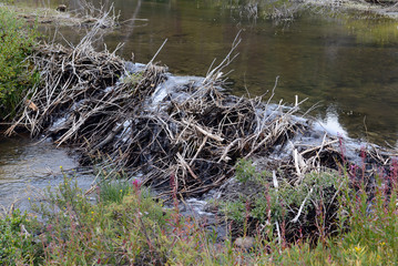 Beaver dam made of sticks on creek in the mountains