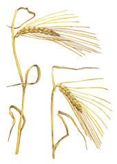 Set of ears of golden wheat close up, dried whole grains oats or barley realistic. Watercolor hand drawn painting illustration isolated on a white background.