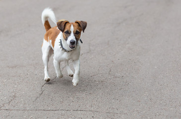 Happy funny Jack Russell Terrier dog  running  on the road