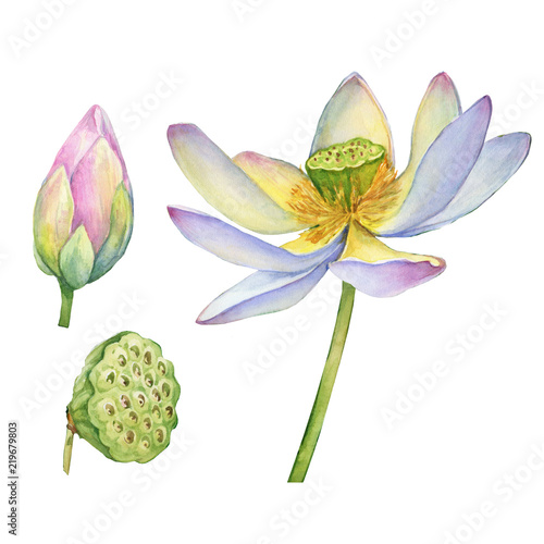 Set Of Indian Sacred Lotus Flower With Leaves Seed Head Bud Also