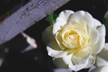 White rose flower on green background 2