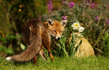 Red Fox standing in the garden with flowers