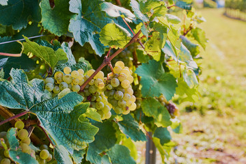 ripe green grapes in a vineyard in Mainz, Germany