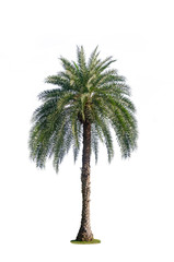 one palm tree isolated on white background with clipping path for nature decoration design.