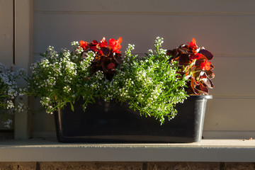 Flowerpot with blooming red flowers in front of wall in sunrays