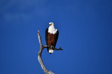 Fish Eagle Chobe River