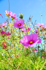 Fototapete - Blumenwiese im Sommer - Cosmea