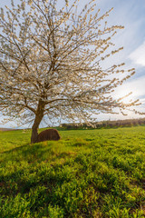 Lonely standing flowering tree. Blooming apple tree. Flowering pear. The tree stands in the middle of the field. A haystack lies next to the tree.