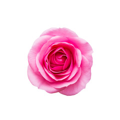 Beautiful Rose Flower Bud Isolated on White Background