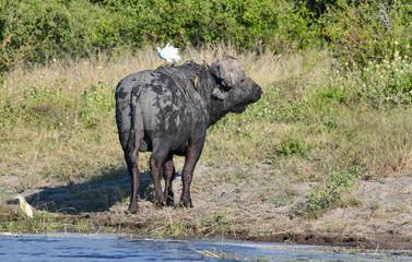 Büffel im Chobe Park
