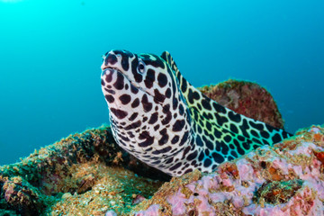 Wall Mural - A curious Honeycomb Moray Eel sticks out of underwater wreckage in a murky, shallow sea