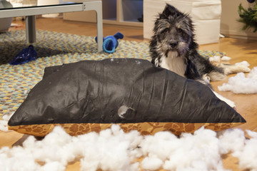 Cutie dog with ripped up cushion