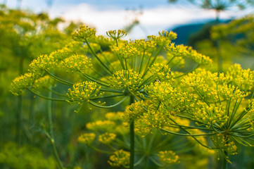 Fototapeta Garden dill blossoms against the sky on a meadow among the forest obraz