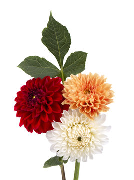 Red, orange and white dahlia flowers with leaves isolated on white background