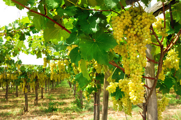 Vineyard with bunche of ripe grape