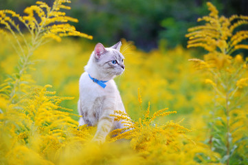 Cat with blue eyes wearing collar looking to yellow flowers Fotobehang