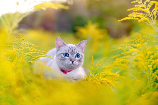Closeup picture of a cat at the summer meadow with yellow flowers