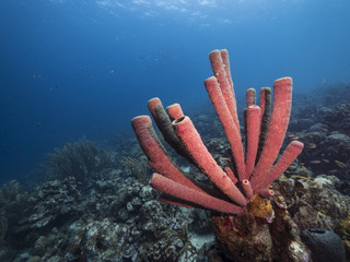 Seascape of coral reef / Caribbean Sea / Curacao with big tube sponge, various hard and soft corals, sponges and sea fan