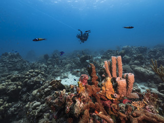 Seascape of coral reef / Caribbean Sea / Curacao with various hard and soft corals, sponges and sea fan, fishes and blue background
