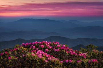 Twilight over Catawba Rhododendron in the Appalachian Mountains of Tennessee