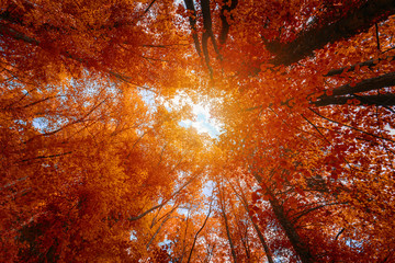 Foto op Canvas Aan het plafond Colorful autumn treetops in fall forest with blue sky and sun shining though trees. Sky and sunshine through the autumn tree branches from below. Red autumn trees from beneath. Autumn foliage