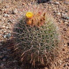 Straw Cactus