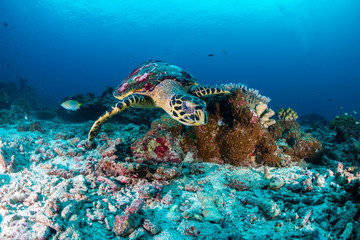 Wall Mural - A Hawksbill Sea Turtle on a dark tropical coral reef