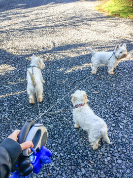 Hand holding tangled retractable leashes with three cute west highland white terrier westie dogs with copy space