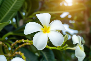 Close up white frangipani flower.