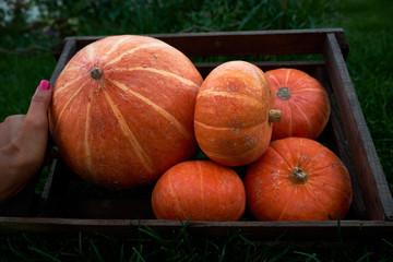 A girl is holding an autumn harvest pumpkins in a wooden box. Outdoor. Vegetarian food.
