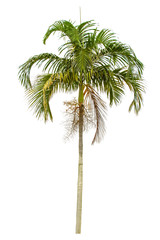 Palm tree isolated on white background. Clipping path included.