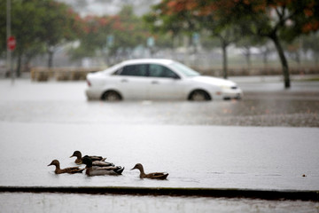 Ducks paddle past a car partially submerged in floodwater from Hurricane Lane in Hilo