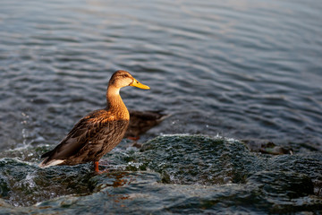 Female mallard duck standing on a stone in a lake during sunset