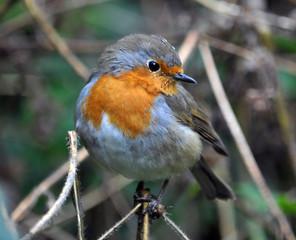 Robin bird family flycatchers