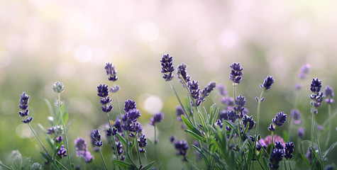 Lavender flowers in summer morning