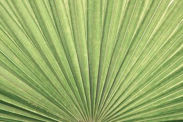 closeup palm leaf texture background