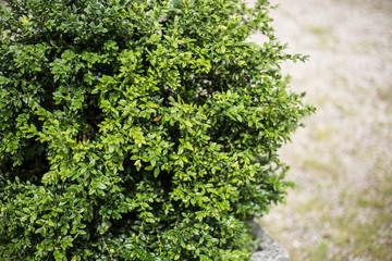 Green leaves of well-groomed bush