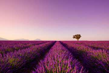 Poster Lichtroze Lavender rows lines at sunset iconic Provence fields landscape