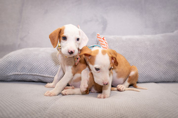 Cute puppies with bow tie