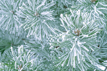 Pine trees covered with frost. Pine needles in snow. Cloudy frosty day.Spruce branches in the snow.
