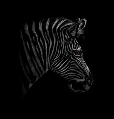 Portrait of a zebra head on a black background