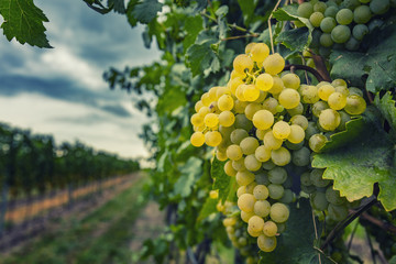 beautiful fresh yellow grapes in late summer vineyard